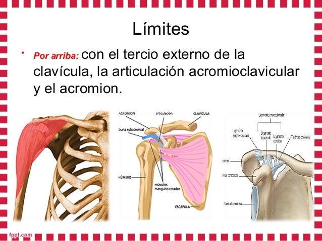 • Por abajo:Por abajo: Con la impresión deltoidea del húmero o V deltoidea.