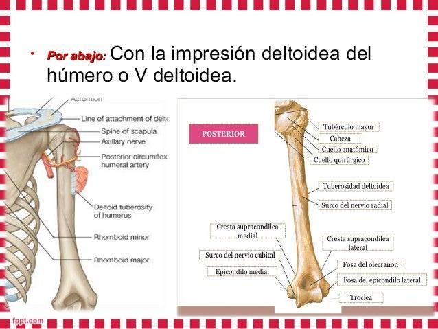 • Por delante y detrás:Por delante y detrás: con el borde anterior y borde posterior del músculo deltoides.