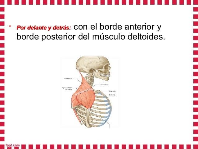 • En profundidad:En profundidad: La región deltoidea se detiene en la articulación escapulohumeral.