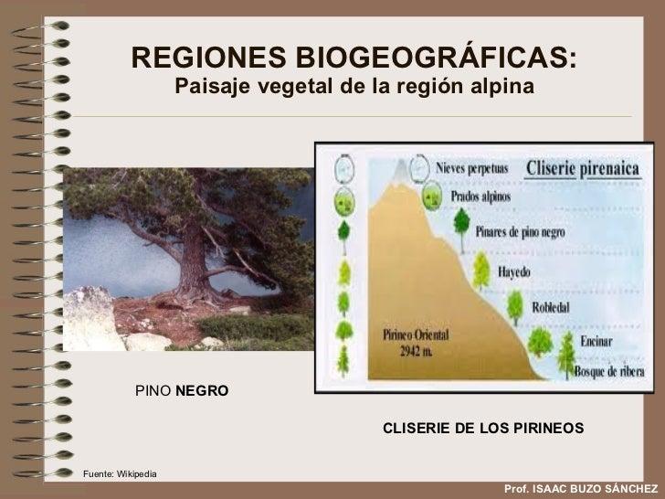 REGIONES BIOGEOGRÁFICAS: Paisaje vegetal de la región alpina CLISERIE DE LOS PIRINEOS PINO  NEGRO Prof. ISAAC BUZO SÁNCHEZ...