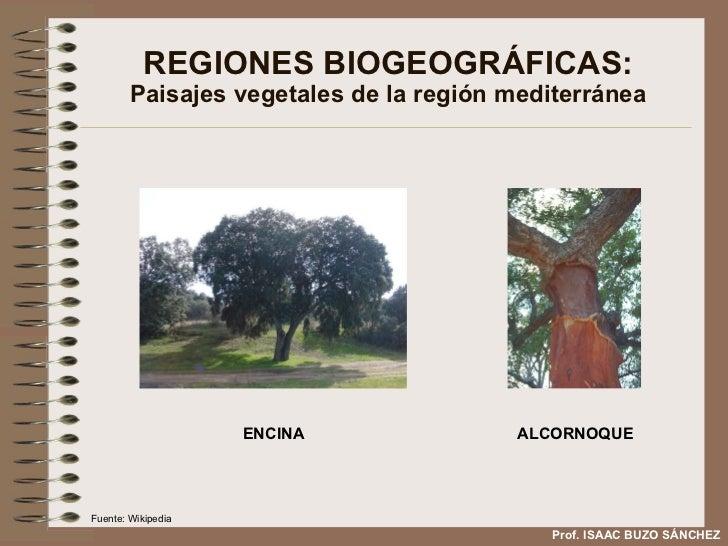 REGIONES BIOGEOGRÁFICAS: Paisajes vegetales de la región mediterránea ENCINA ALCORNOQUE Prof. ISAAC BUZO SÁNCHEZ Fuente: W...