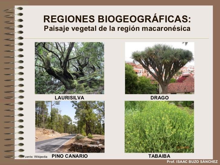 REGIONES BIOGEOGRÁFICAS: Paisaje vegetal de la región macaronésica LAURISILVA DRAGO PINO CANARIO TABAIBA Prof. ISAAC BUZO ...