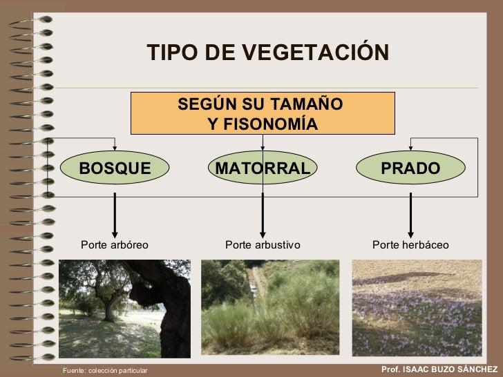 TIPO DE VEGETACIÓN Prof. ISAAC BUZO SÁNCHEZ SEGÚN SU TAMAÑO  Y FISONOMÍA Porte arbóreo Porte arbustivo Porte herbáceo Fuen...
