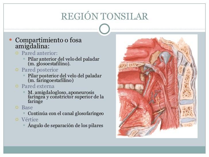 Magnífico Anatomía Fosa Amigdalina Ideas - Anatomía de Las ...