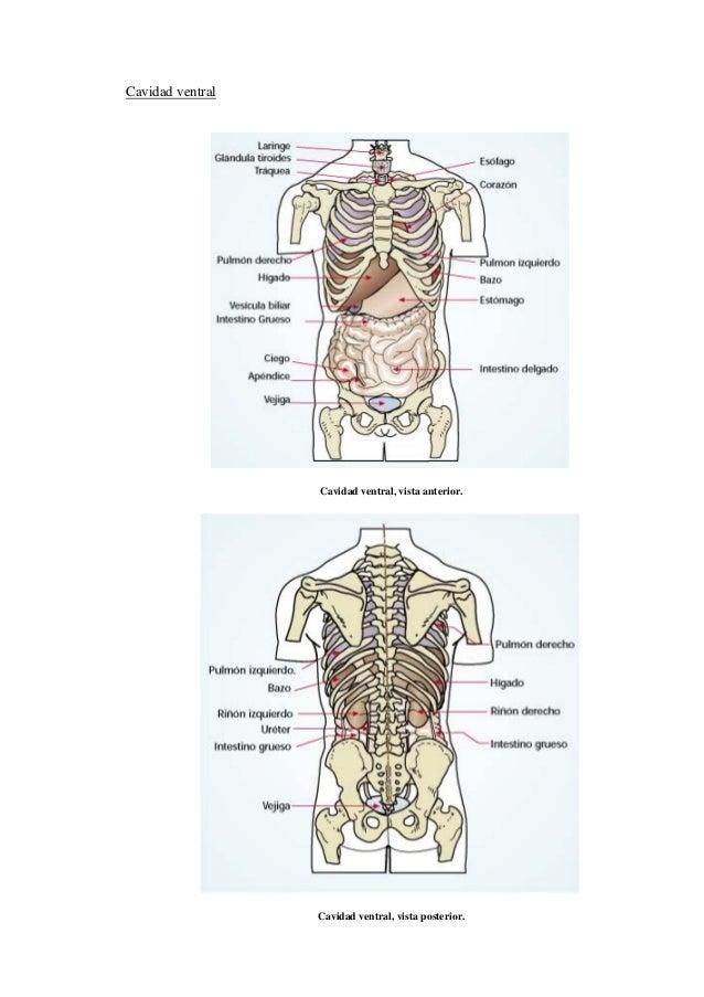 Vistoso Diagrama De La Anatomía Corporal Ideas - Imágenes de ...
