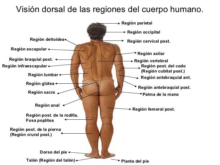 Regiones de la anatomía externa