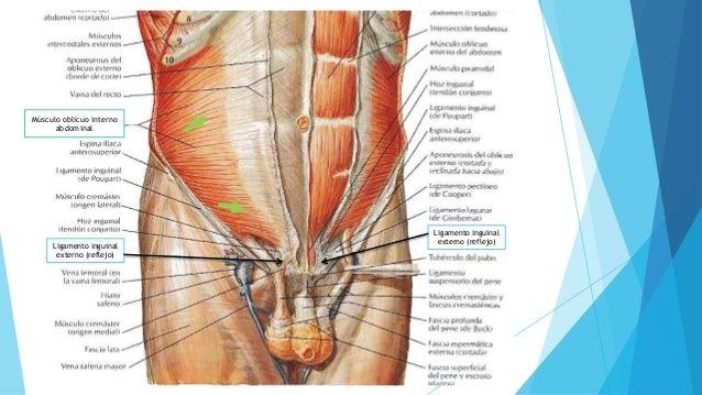 Anatomía de región inguinal