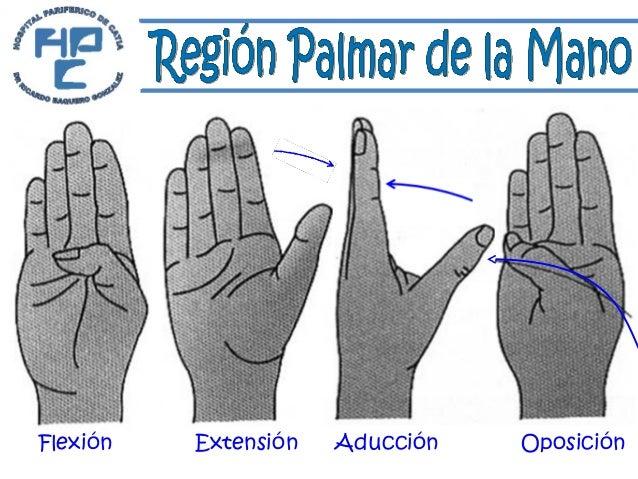 Anatomia Region Palmar