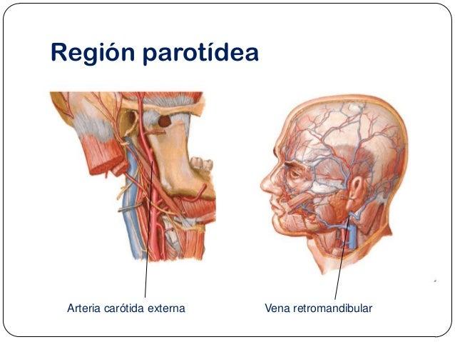 Anatomia De La Glandula Parotida - Lesbos