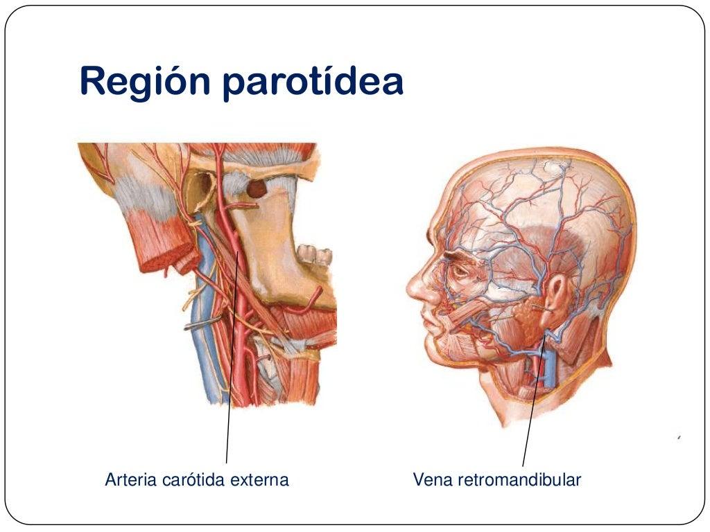 Region parotidea anatomia