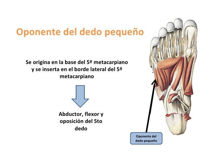 Fantástico Quinto Dedo Del Pie Anatomía Festooning - Anatomía de Las ...