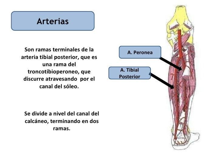 Increíble Anatomía Arteria Tibial Posterior Fotos - Anatomía de Las ...