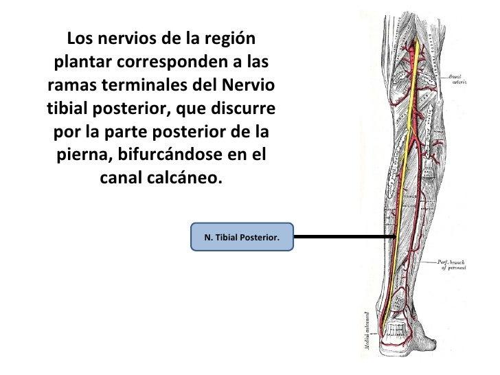 Lujo Anatomía Del Nervio Tibial Regalo - Anatomía de Las Imágenesdel ...