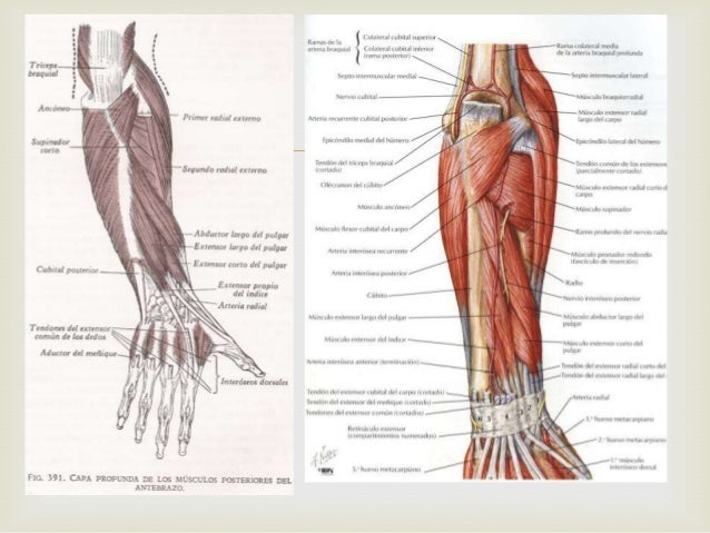Region posterior brazo antebrazo