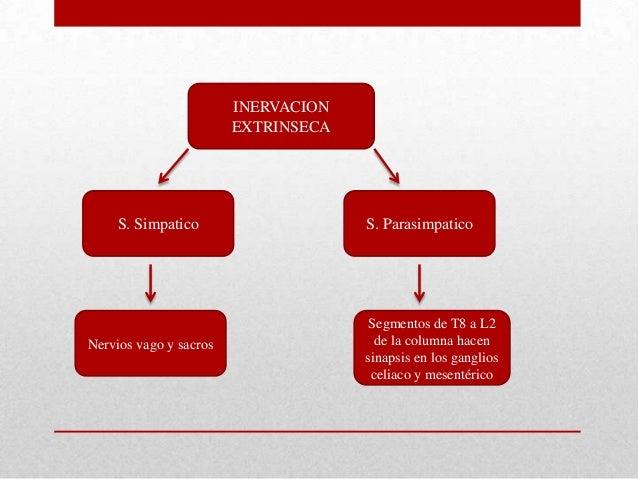 INERVACIONEXTRINSECASegmentos de T8 a L2de la columna hacensinapsis en los gangliosceliaco y mesentéricoS. ParasimpaticoNe...