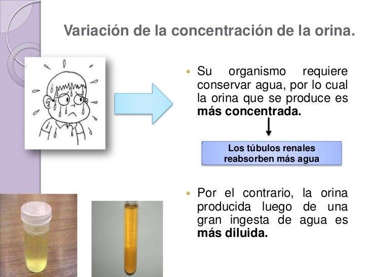 Regulaci n hormonal de la orina - Colores para la concentracion ...