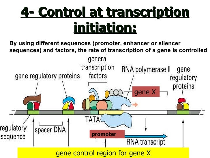 how genes are control Regulatory genes control when and where other genes get turned on for  example, these sorts of genes tell the cells of the fly when and where to start  building.