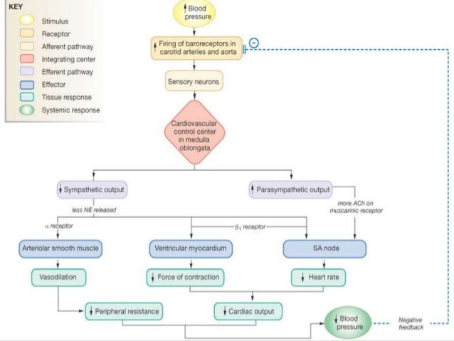 Regulation Of Normal Blood Pressure
