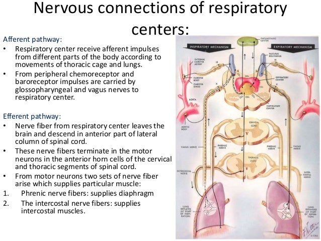 the mechanism of breathing and its control essay Find out all about your lungs and how breathing works credit: ross toro, livescience contributor the primary organs of the respiratory system are the lungs, which.