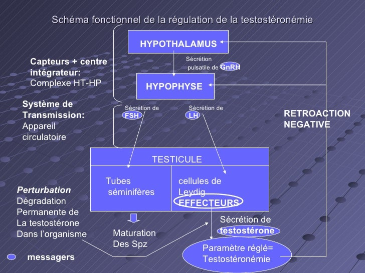 Schéma fonctionnel de la régulation de la testostéronémie Sécrétion pulsatile de  GnRH Sécrétion de  FSH Sécrétion de  LH ...