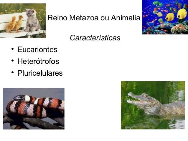 Reino Metazoa ou Animalia Características  Eucariontes  Heterótrofos  Pluricelulares