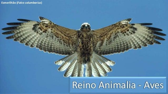 Reino Animalia - Aves  Esmerilhão (Falco columbarius)