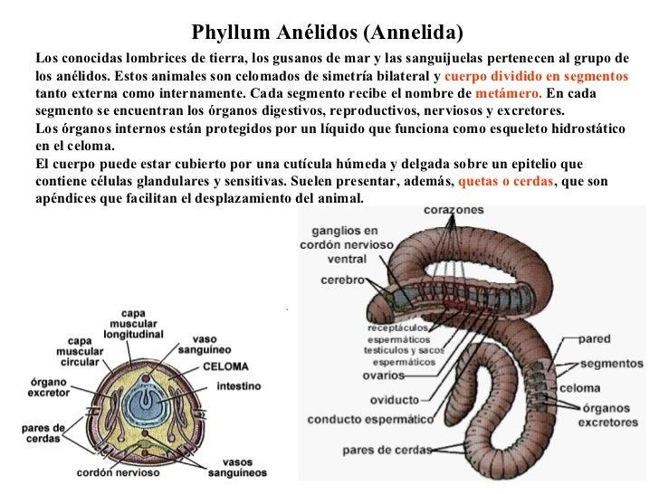 Excelente Anatomía Interna De Un Diagrama De Lombriz De Tierra Foto ...