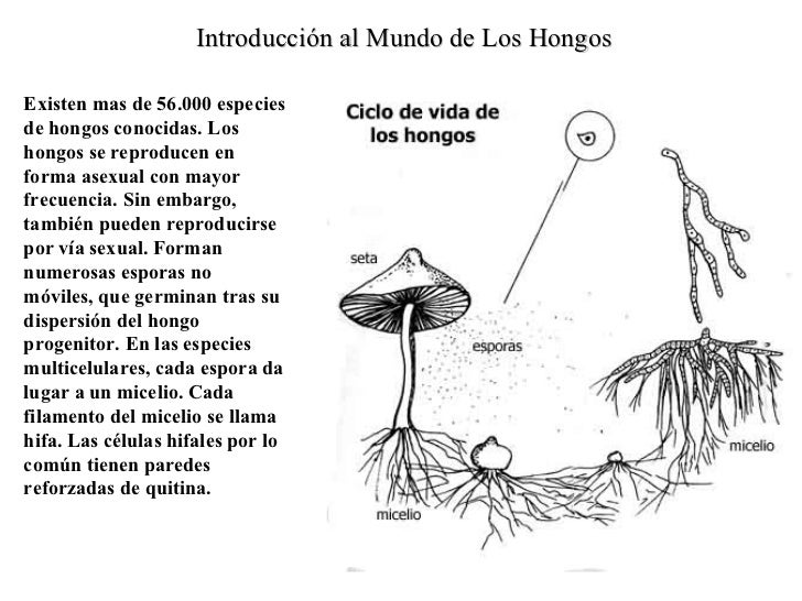 Reino fungi for Como se cocinan las setas
