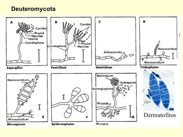 Basidiomycota reproduccion asexual