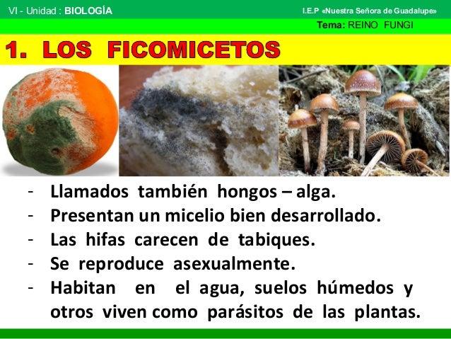 Protistas tipo hongo o fungoides - El moho es un hongo ...