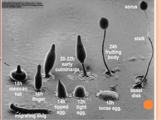 HYPHOCHYTRIDIOMYCETES   Vivem no solo ou água doce.   São microorganismos parasitas ou saprófitas.   Células móveis com...