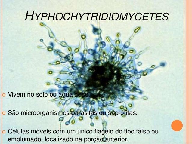 Rhizopus stolonifer