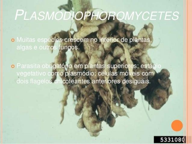 Phycomyces blakesleeanus