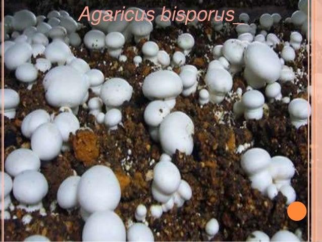 O Entoloma hochstetteri é  encontrado na Índia e na  Nova Zelândia e eles são  facilmente identificáveis  por sua belíssim...