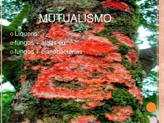 MUTUALISMO   Líquens:   fungos + algas ou   fungos + cianobactérias