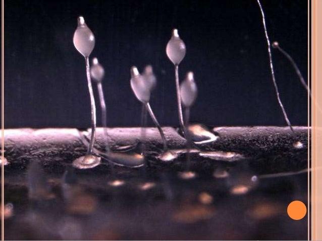 FUNGOS INFERIORES  FLAGELADOS   Incluem todos os fungos, menos os limosos, que  produzem células flageladas em alguma par...