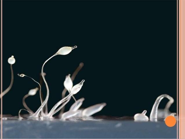 CHYTRIDIOMYCETES   Vivem no solo ou água doce.   São microorganismos parasitas ou saprófitas.   Se alimentam por meio d...