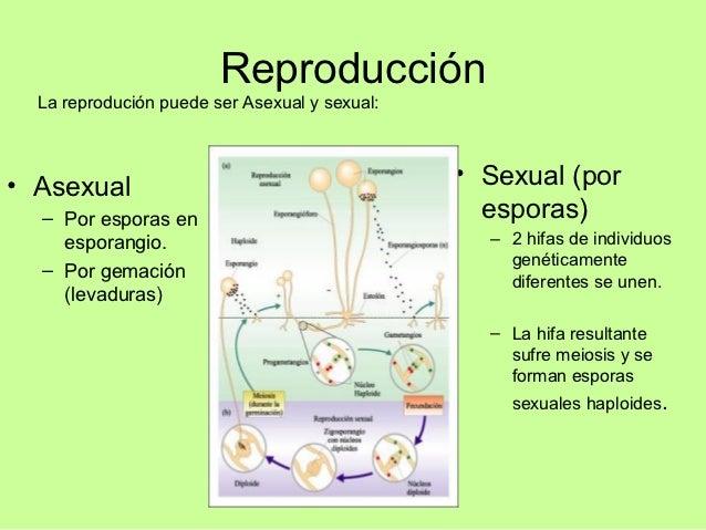 Zigomicetos reproduccion asexual en