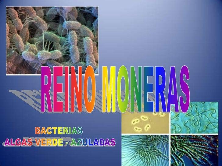REINO MONERAS<br />BACTERIAS <br />ALGAS VERDE - AZULADAS<br />