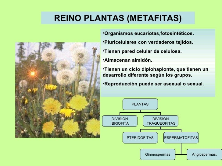 REINO PLANTAS (METAFITAS) <ul><li>Organismos  eucariotas , fotosintéticos. </li></ul><ul><li>Pluricelulares con verdaderos...