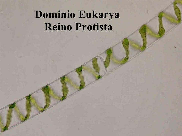 Dominio Eukarya  Reino Protista