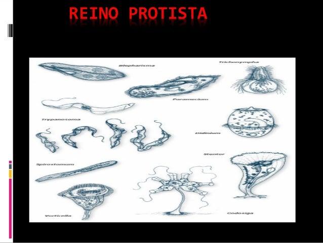 o Reinoo Reino ProtistaProtista éé formado porformado por organismosorganismos unicelularesunicelulares eucariontes,eucari...