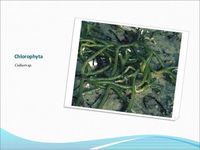 Chlorophyta Codium sp.