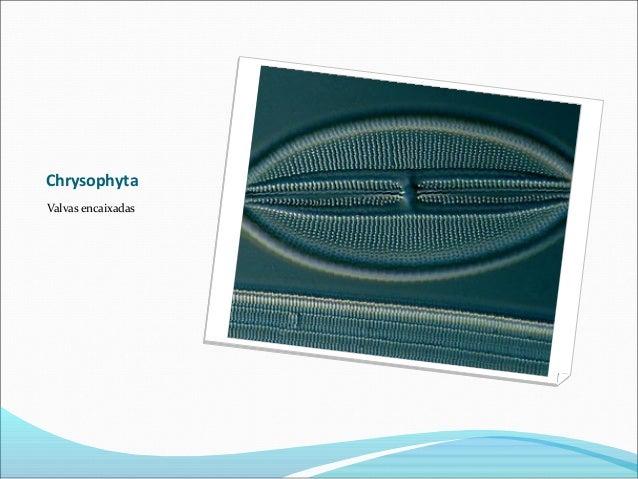 Chrysophyta Valvas encaixadas