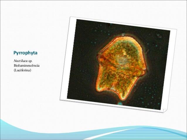 Pyrrophyta Noctiluca sp. Bioluminescência (Luciferina)