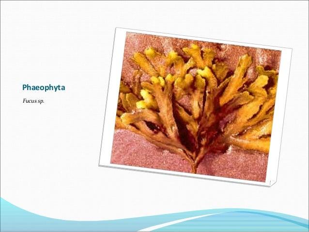 Phaeophyta Fucus sp.