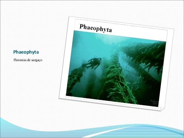 Phaeophyta Florestas de sargaço
