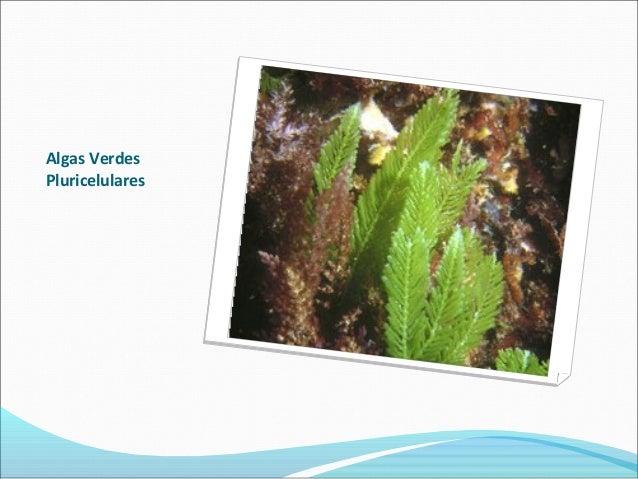 Algas Verdes Pluricelulares
