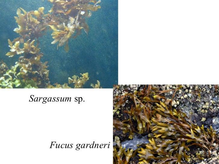 Sargassum  sp. Fucus gardneri