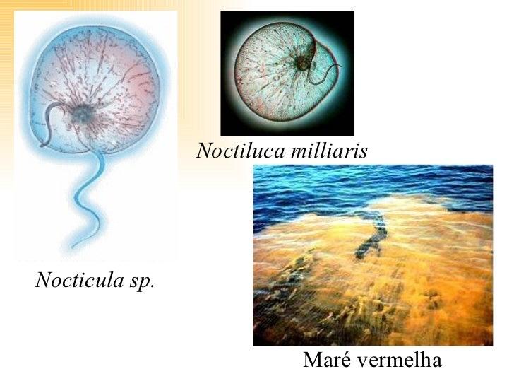 Nocticula sp. Noctiluca milliaris Maré vermelha